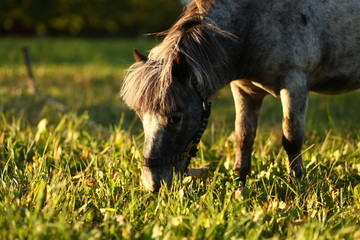 circus pony grazing in the meadow
