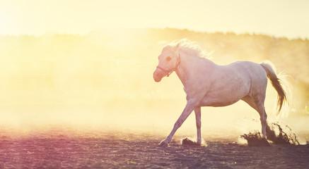 White horse running on the sand at sunset.