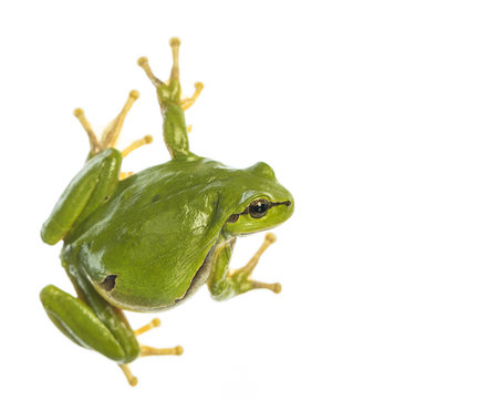 European tree frog (Hyla arborea) isolated on white background, looking to the right side