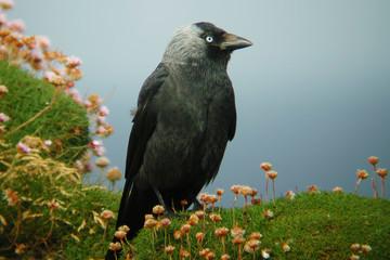 Jackdaw, Corvus monedula, standing