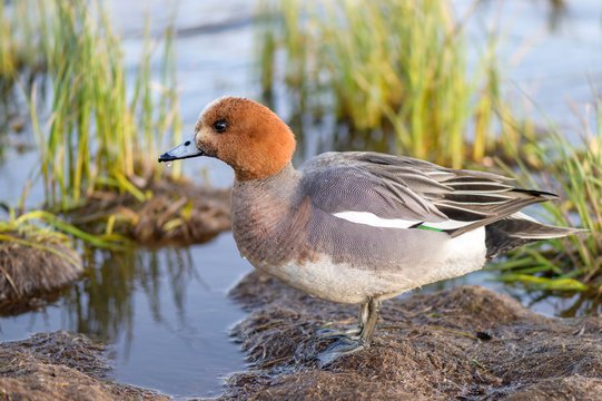 Male eurasian wigeon in a natural environment