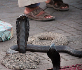 Snake charmer with 4 snakes in Africa.