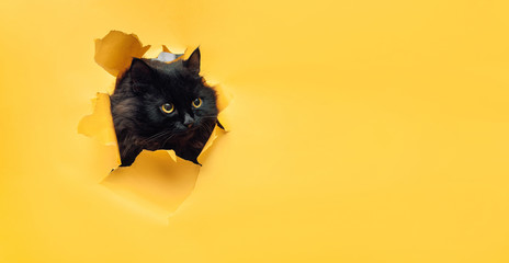 Papiers peints Chat Funny black cat looks through ripped hole in yellow paper. Naughty pets and mischievous domestic animals. Peekaboo. Copy space.
