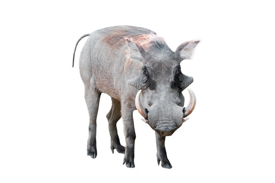 warthog on white background