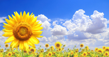 Fototapete - Sunflowers on blue sky background