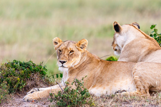 Two lionesses lying on the savannah