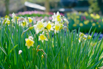 Amazingly beautiful Yellow Daffodils or narcis flowers, Narcissus Pseudonarcissus, in a field in the morning sunlight, depicting a spring background, flower landscape.