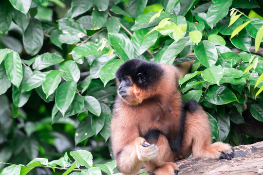 Spider Monkeys Ateles geoffroyi monkey while on a tree
