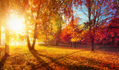 Aluminium Prints Orange Glow Autumn Landscape. Fall Scene.Trees and Leaves in Sunlight Rays