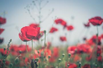 Red poppy flowers against the sky