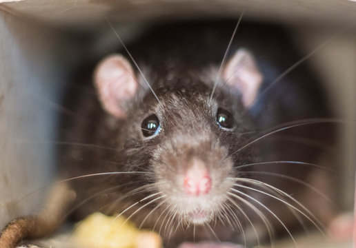 Close-up of a rat looks out of his refuge, symbol of 2020