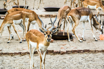 Foto op Plexiglas Antilope Beautiful wild animal Blackbuck deer (Antilope cervicapra) or Indian antelope in Lal Suhanra National Park Safari Park, Bahawalpur, Pakistan