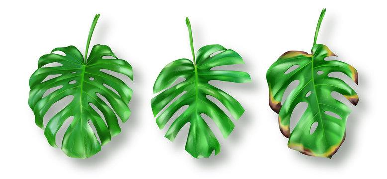 Tropical green monstera leaves on white background vector set