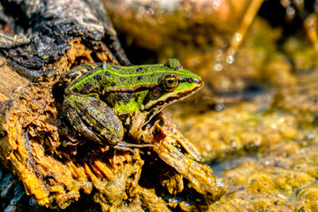 Rana esculenta-  common water frog sunbathing on a stone in a lake