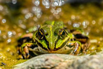 Rana esculenta-  common water frog sunbathing on a stone in a lake