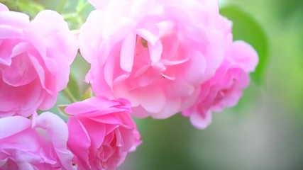 Fotoväggar - Pink rose flowers. Beautiful Roses blooming growing in summer garden. Slow motion. 3840X2160 4K UHD video footage