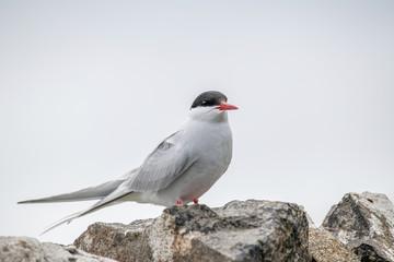 Close up of Arctic tern (Sterna paradisaea) in nature Fotoväggar