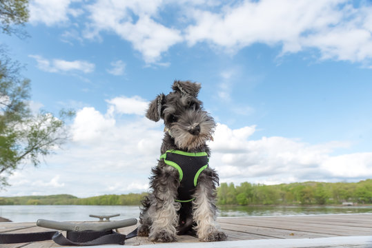 wide angle portrait of miniature schnauzer pup with soft focused background blue sky and clouds. He is sitting on a dock of a river. A sweet face with folded over ears.