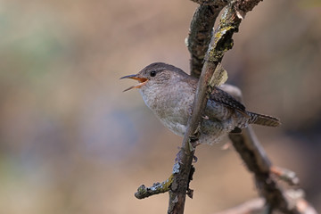 Singing House Wren on a Branch