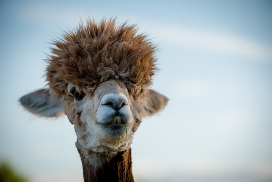 portrait of a alpaca, isolated face. cute funny expression