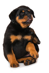 Rottweiler puppy  is scratching herself isolated on white background