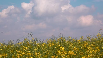Wall Mural - Rapeseed rape field blooming