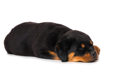Rottweiler puppy sleeping isolated on white background