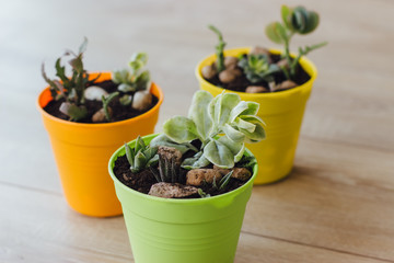 Three pots of succulents on the floor. Wall mural