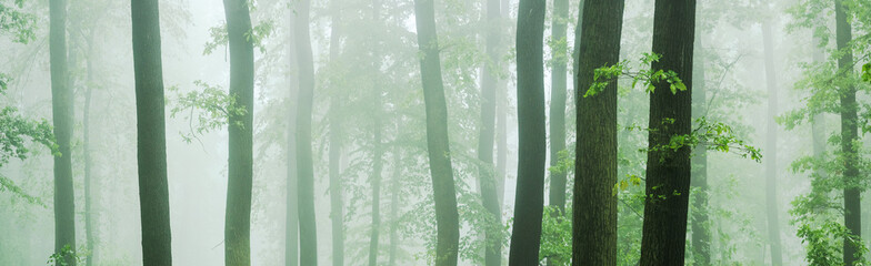 Obraz Panorama of Beech and Oak Forest in Thick Fog - fototapety do salonu