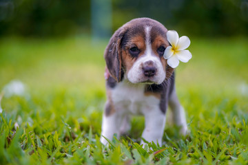 A cute beagle puppy with a white plumeria flower attaching on ear, standing on the grass field on sunny day.