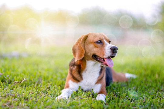 An adorable beagle dog sitting in the grass field.