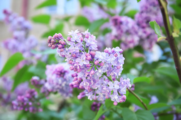Foto auf Leinwand Flieder Blossoming lilac outdoors on spring day