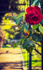 Romantic Scene of Rose In Vintage Secret Garden Atrium Walkway In City Park