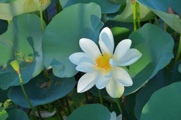 Search Photos Lotus