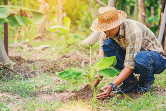 Farmer planting a banana tree on his farm