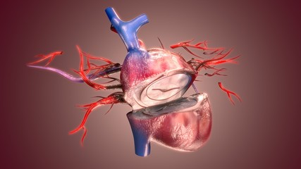 3D Illustration of Human Body Organs Heart Anatomy