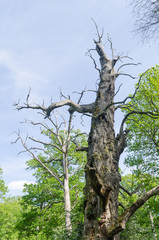 Dead old oak tree in a nature reserve