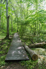 Wooden footpath in a deciduous forest with fresh green leaves