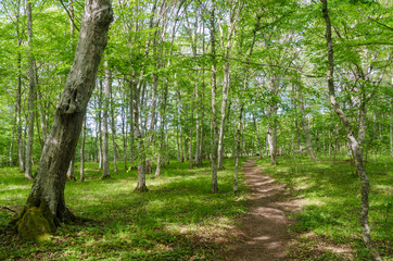 Bright footpath in a deciduous forest with hornbeam trees by summer season