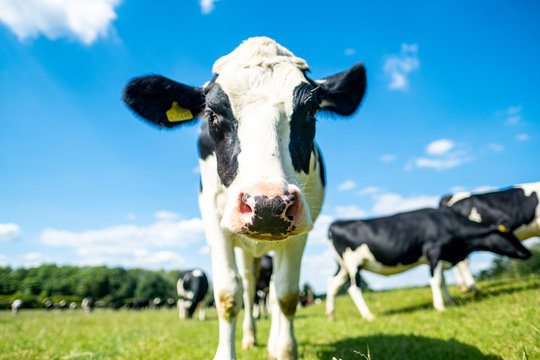 Healthy young dairy cow in beautiful green field with blue skies