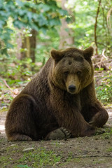 Wall Mural - Closeup of a european brown bear in a forest
