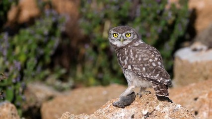 Fototapete - Owls. Young little Owls (Athene noctua) sits on a stone, holds a mouse in its paw and looks at the camera.
