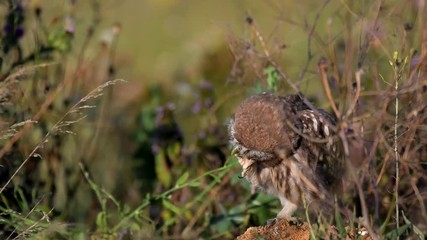Wall Mural - Owls. Young little Owls (Athene noctua) sits on a stone in the grass and cleans its feathers.