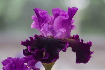 Closeup of flower bearded dainty purple violet iris. Macro photo.