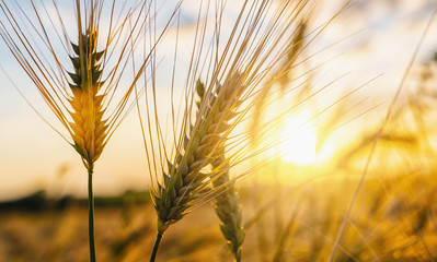 Wheat flied at sunset with clouds. agriculture concept image