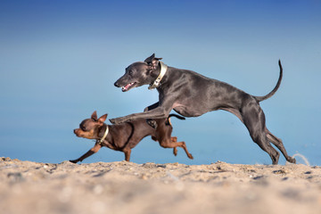 Toy terrier and greyhound run