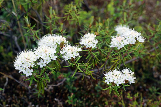 Ledum palustre. Marsh tea blooms in the Yamal tundra