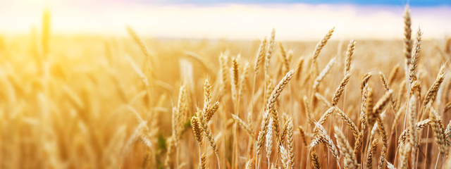 Zelfklevend Fotobehang Cultuur Wheat field. Ears of golden wheat close up. Beautiful Nature Sunset Landscape. Rural Scenery under Shining Sunlight. Background of ripening ears of wheat field. Rich harvest Concept.