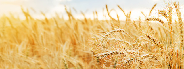 Wheat field. Ears of golden wheat close up. Beautiful Nature Sunset Landscape. Rural Scenery under Shining Sunlight. Background of ripening ears of wheat field. Rich harvest Concept. Wall mural