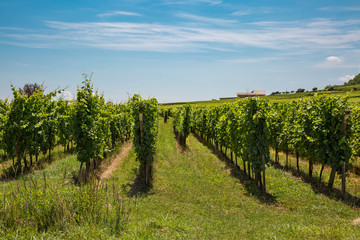 Weinstöcke im Elsass in der Sonne